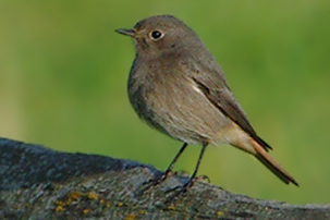 Black Redstart by Dan Forder