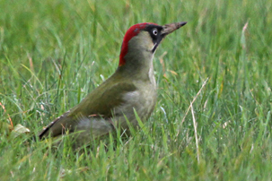 Green Woodpecker by Keith Overall