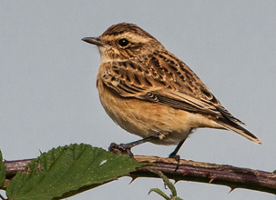 Whinchat by Yves Gisseleire