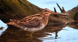 Common Snipe at Tewinbury by Allan Burrows