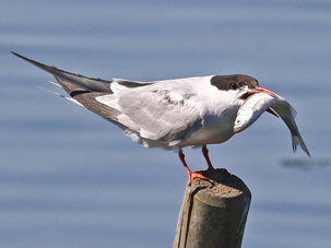 Common Tern by Keith Overall