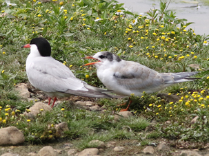 Common Terns by Alan Reynolds