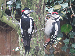 Great Spotted Woodpeckers by Steve Evans and Ann Lee