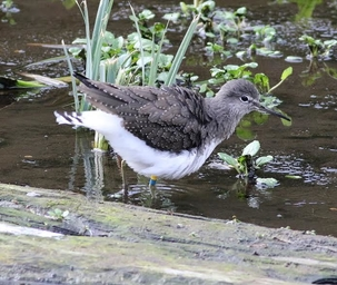 Green Sandpiper at Lemsford by Alan Reynolds