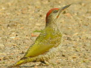 Green Woodpecker by Mary Smith