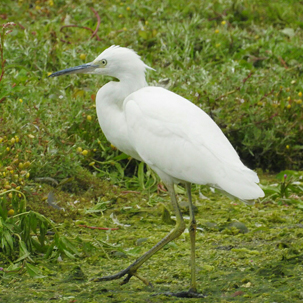 Little Egret by Mary Smith
