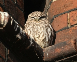 Little Owl at Standstead Abbotts by Ian Conn