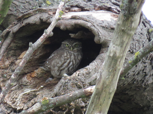 Little Owl at Willows Farm by Steve Blake