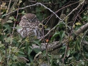 Little Owl at Woodoaks Farm by Dale Ayres