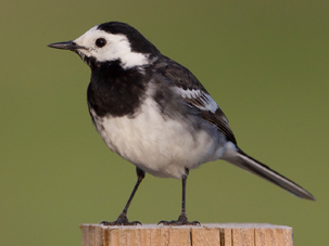 Pied Wagtail by Tim Hill