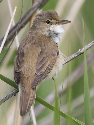 Reed Warbler by Andrew Moon