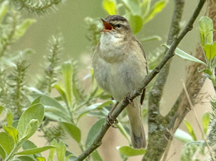 Sedge Warbler by Rob Stubbs