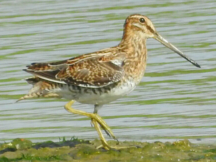 Common Snipe by Mary Smith