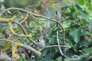 Tree Sparrows in a Hertford garden by Dave Cook