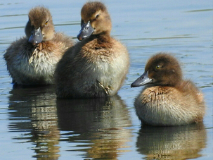 Tufted ducklings by Mary Smith