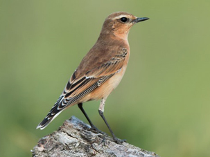 Wheatear by Dale Ayres