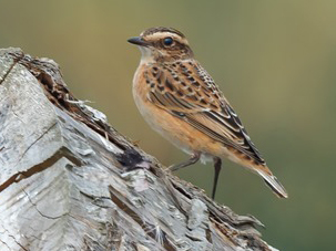 Whinchat by Dale Ayres