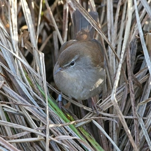 Cettis Warbler at Rye Meads by Steve Lane