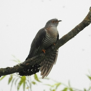 Cuckoo at Rye Meads by Mary Smith