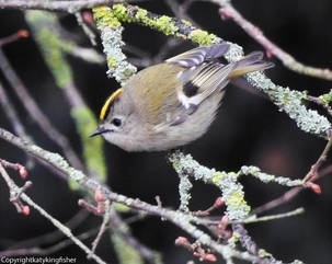 Goldcrest at Hertford by Katy Smith