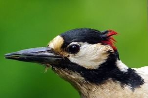Great Spotted Woodpecker in Harpenden by David Lyons