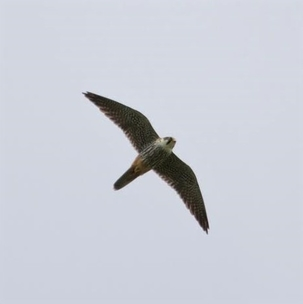 Hobby at Walkern by Gary Sanderson