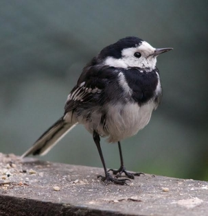 Pied Wagtail in Stevenage by Gary Sanderson