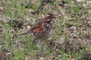 Redwing in Hertford by Alan Reynolds