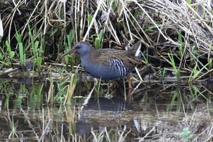 Water Rail at Lemsford Springs by Alan Reynolds