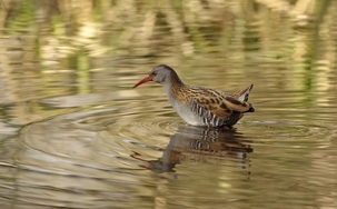 Water Rail at Watercress LNR (St Albans) by Andrew Steele