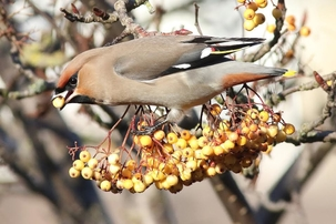 Waxwing at Cheshunt by Alan Reynolds