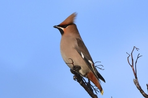 Waxwing at Cheshunt by Chris Sharp