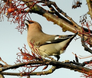 Waxwing at Cheshunt by Mary Smith