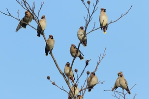 Waxwings at Cheshunt by Alan Reynolds