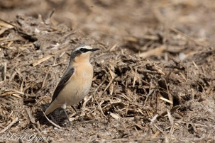 Wheatear at Ashwell by Keith Gypps