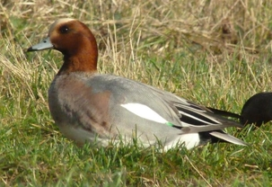 Wigeon at King's Meads by Simon Knott