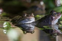 Common Frogs © Steve Lane