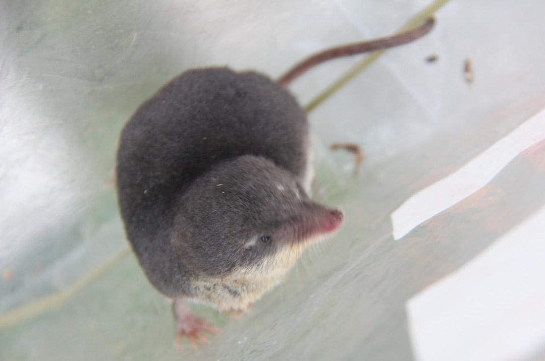 Pseudococcyx posticana