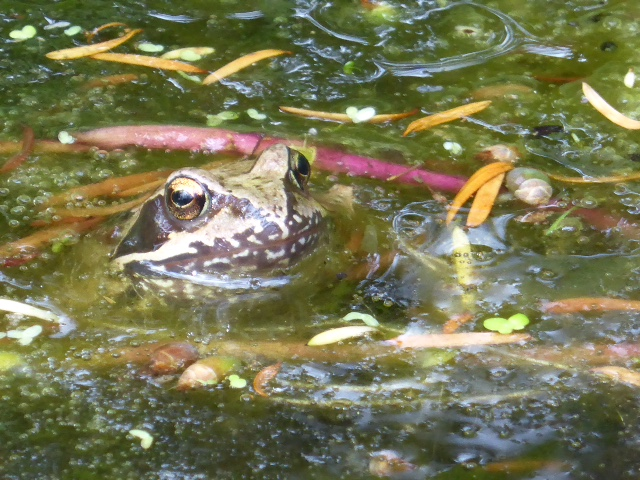 Common Frog ? Anna Marrett