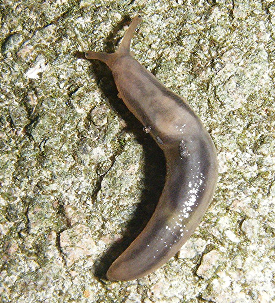 Tree Slug (Lehmannia marginata)