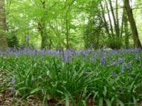 Bluebells ? Linda Smith