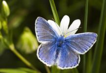 Common Blue © Steve Chilton