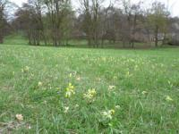 Cowslips © Linda Smith