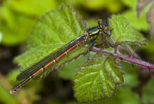 Large Red Damselfly © Steve Chilton