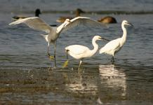 Little Egrets at Tring Reservoirs © Mike Wallen