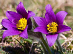 Pasque Flowers © Steve Chilton