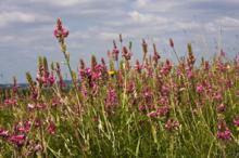 Sainfoin at Hexton Chalk Pit © Steve Chilton