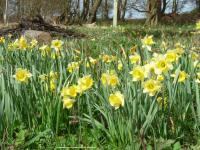 Wild daffodils © Linda Smith