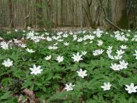 Wood Anemones © Linda Smith