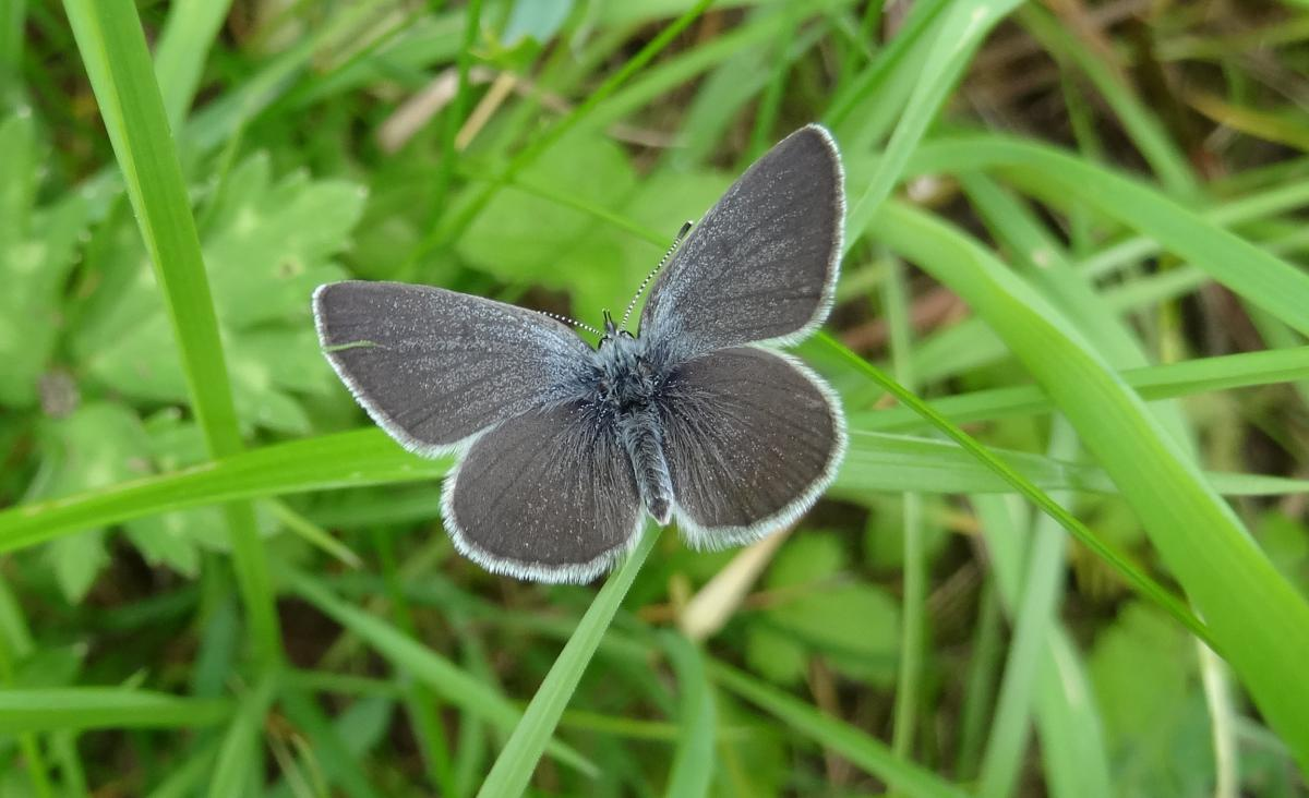 Small Blue (photo: Andrew Wood)